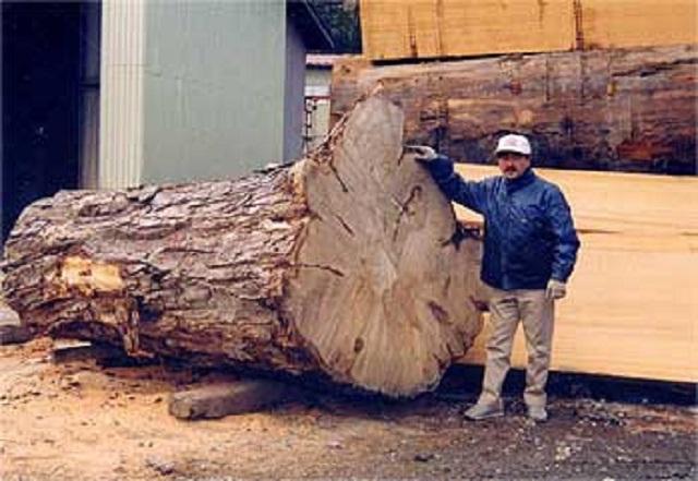 昭和の大木